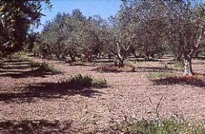 Βιοκαλλιέργεια της ελιάς
