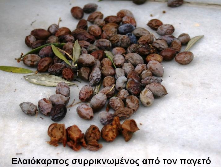 elaiokarpos_siriknomenos_apo_pageto1.jpg