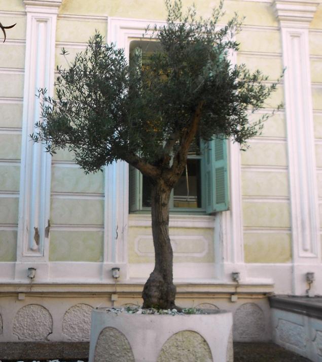 Παλια ελαιόδεντρα   διακοσμουν και παραδοσιακα  σπιτια