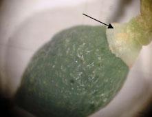 pirinotritis1