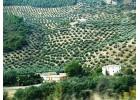 Σοβαρές ζημιές από   ξηρασία στους ελαιώνες  της Ισπανίας.