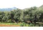 Μεγάλη μείωση παραγωγής ελαιολάδου στο Ρέθυμνο