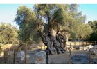 Living Monuments of Crete: The Oldest Olive Trees in the World