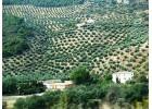 Προτάσεις Ισπανών για την ελαιοκαλλιέργεια στην νέα ΚΑΠ