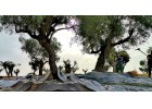 Greek Producers Discuss Olive Oil Prospects for 2020-2021