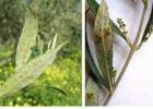 Προσοχή στις ασθένειες της Ελιάς από Ακάρεα της Ανοιξης