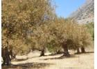 Χαμηλή η παραγωγή  και  κίνδυνοι  για την ποιότητα στην  Κρητη