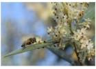 Κίνδυνοι από καύσωνες και ασθένειες στις Ελιές τον Μάιο