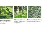 Προσοχή στις ασθένειες της Ελιάς την Άνοιξη