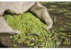 Ανεπάρκεια εργατών για την συγκομιδή της ελιάς