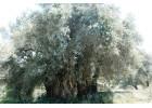 Συγκομιδή και αξιοποίηση ελαιοκάρπου από υπέρ-αιωνόβια ελαιόδεντρα