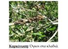 Σοβαρές επιπτώσεις στα ελαιόδεντρα λόγω καιρικών συνθηκών