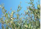 Προσοχή το θέρος στις προσβολές της Ελιάς από Μαργαρόνια